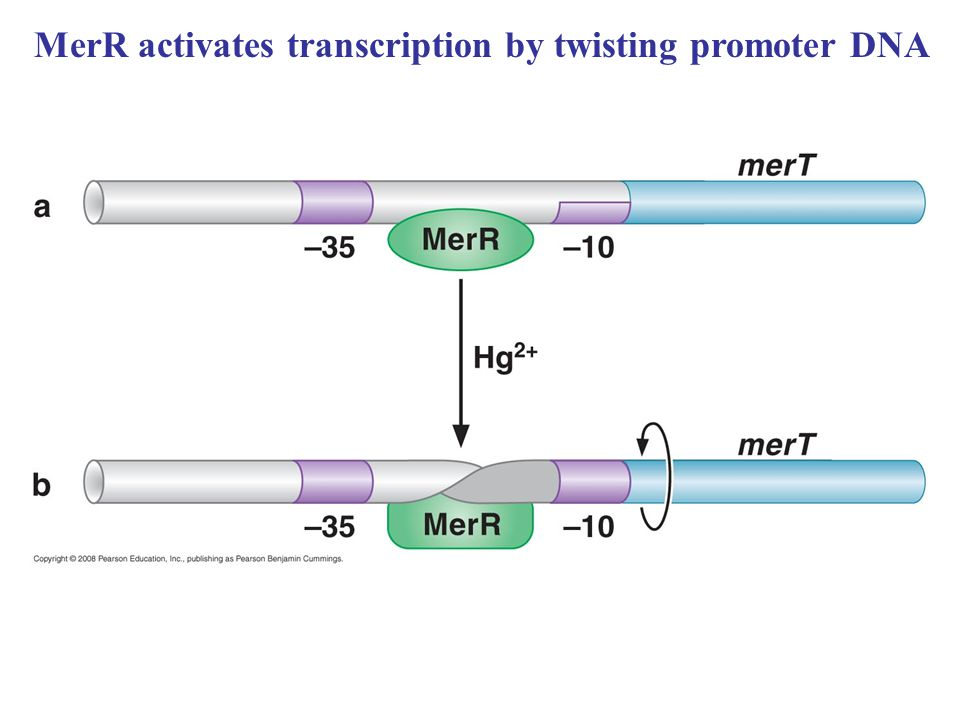 MerR activates transcription by twisting promoter DNA