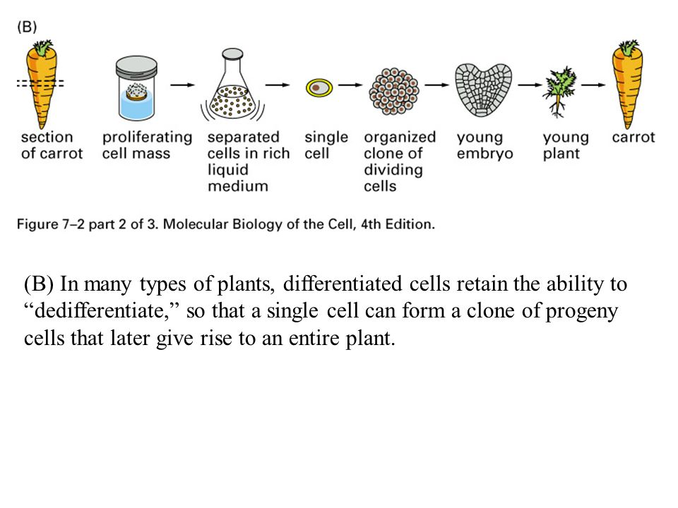 """(B) In many types of plants, differentiated cells retain the ability to """"dedifferentiate,"""" so that a single cell can form a clone of progeny cells tha"""