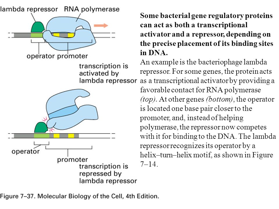 Some bacterial gene regulatory proteins can act as both a transcriptional activator and a repressor, depending on the precise placement of its binding sites in DNA.