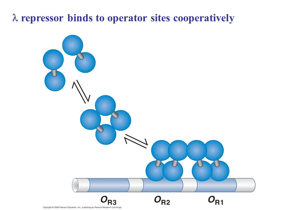 repressor binds to operator sites cooperatively