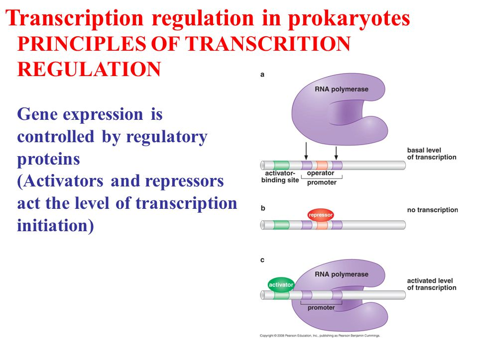 Transcription regulation in prokaryotes PRINCIPLES OF TRANSCRITION REGULATION Gene expression is controlled by regulatory proteins (Activators and rep