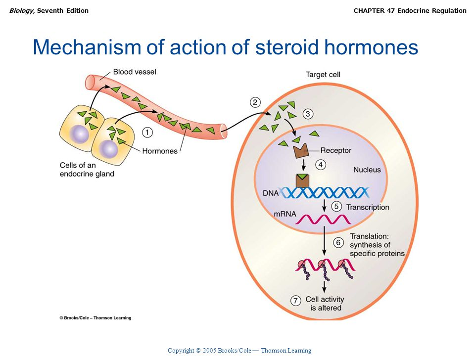 Copyright © 2005 Brooks/Cole — Thomson Learning Biology, Seventh EditionCHAPTER 47 Endocrine Regulation Mechanism of action of steroid hormones