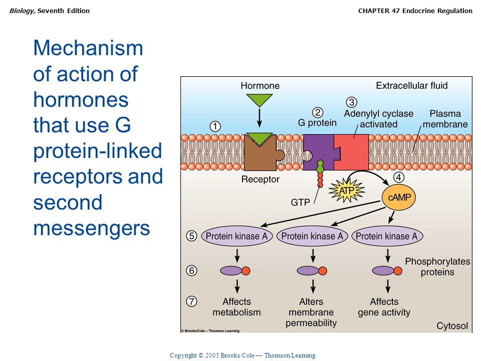 Copyright © 2005 Brooks/Cole — Thomson Learning Biology, Seventh EditionCHAPTER 47 Endocrine Regulation Mechanism of action of hormones that use G pro