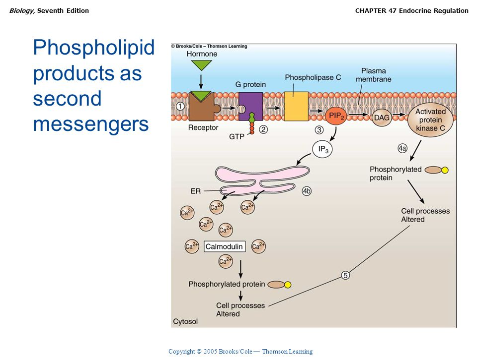 Copyright © 2005 Brooks/Cole — Thomson Learning Biology, Seventh EditionCHAPTER 47 Endocrine Regulation Phospholipid products as second messengers