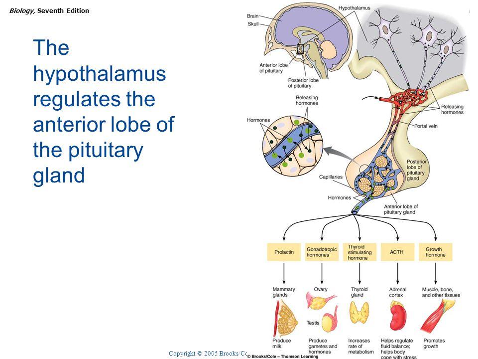 Copyright © 2005 Brooks/Cole — Thomson Learning Biology, Seventh EditionCHAPTER 47 Endocrine Regulation The hypothalamus regulates the anterior lobe o