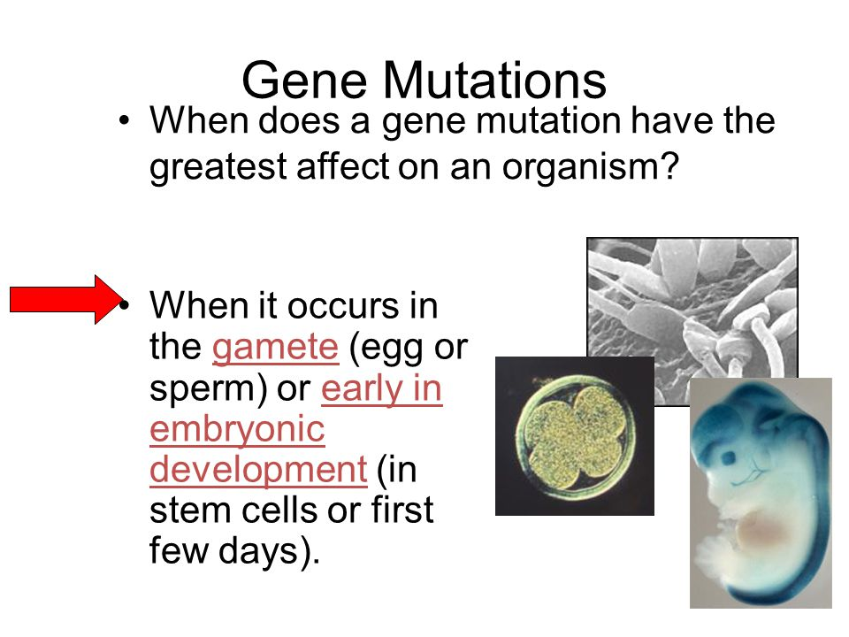 Gene Mutations When does a gene mutation have the greatest affect on an organism.