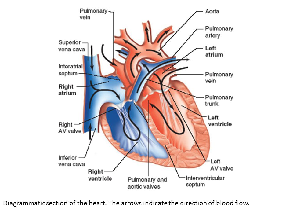 Diagrammatic section of the heart. The arrows indicate the direction of blood flow.
