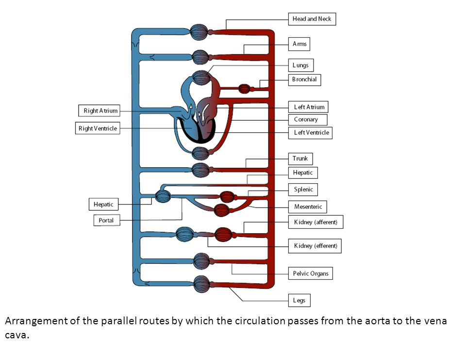 Arrangement of the parallel routes by which the circulation passes from the aorta to the vena cava.
