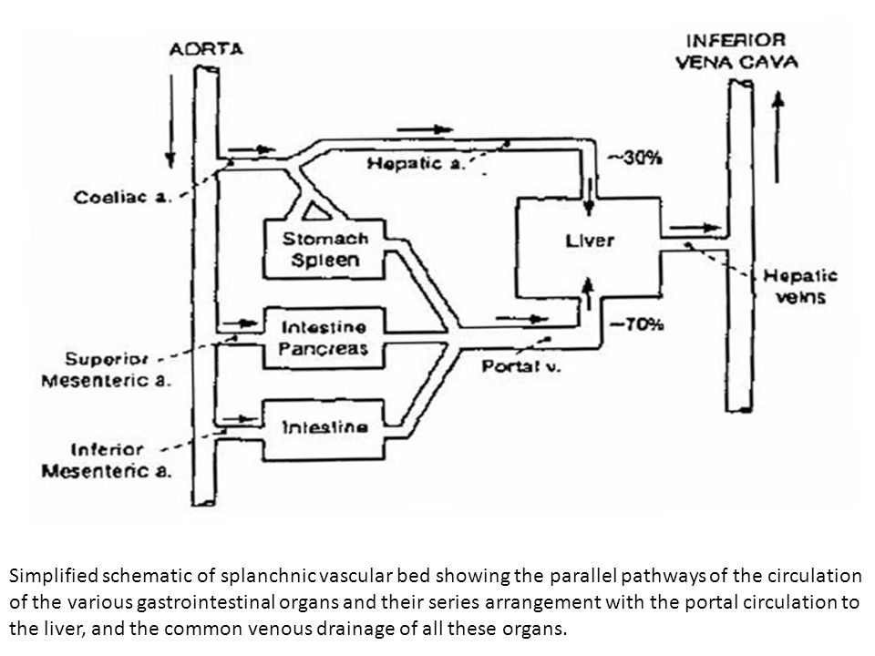 Simplified schematic of splanchnic vascular bed showing the parallel pathways of the circulation of the various gastrointestinal organs and their seri
