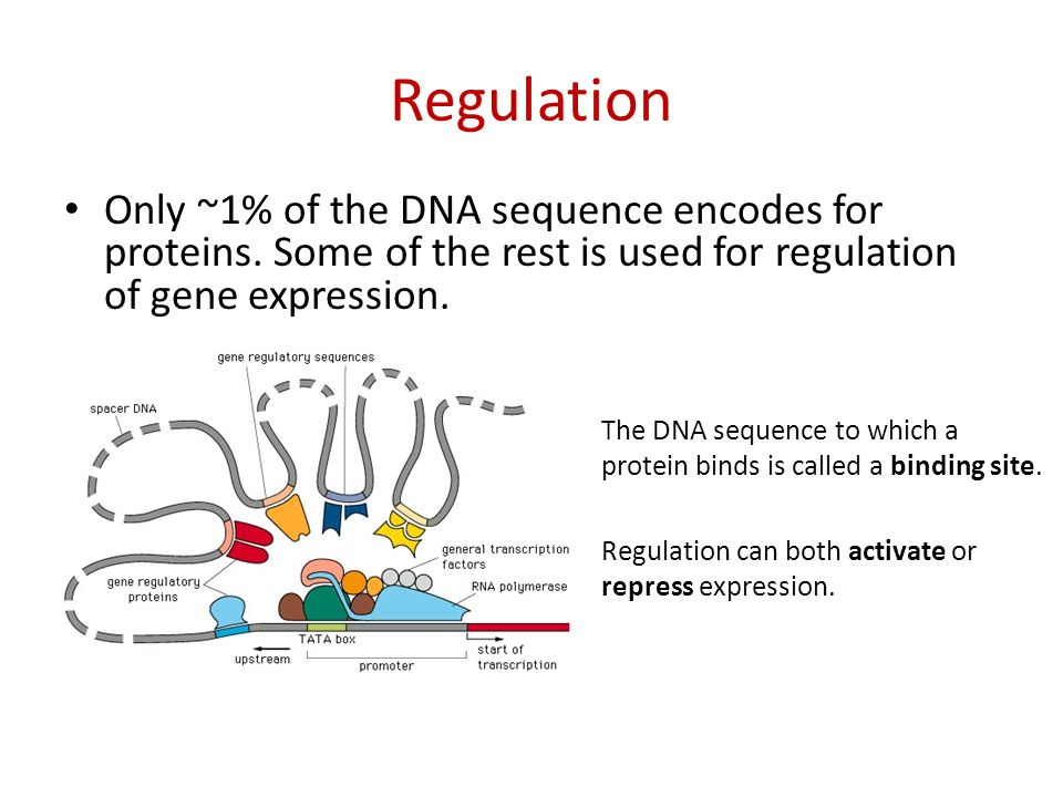 Regulation Only ~1% of the DNA sequence encodes for proteins.
