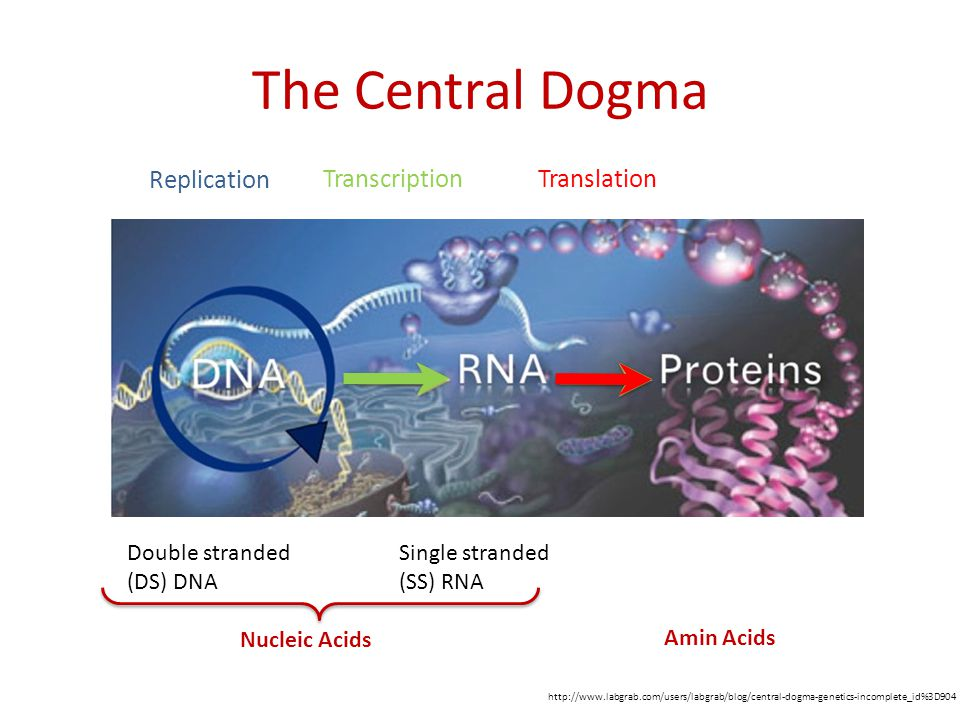 The Central Dogma http://www.labgrab.com/users/labgrab/blog/central-dogma-genetics-incomplete_id%3D904 Double stranded (DS) DNA Single stranded (SS) RNA Replication Transcription Translation Nucleic Acids Amin Acids