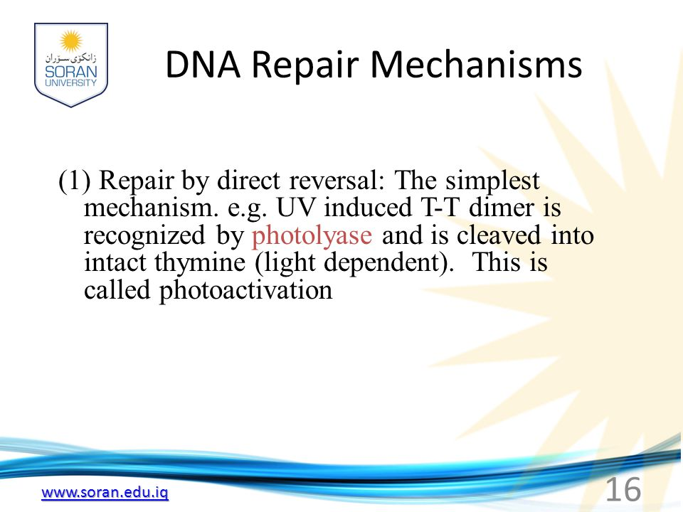 www.soran.edu.iq DNA Repair Mechanisms (1) Repair by direct reversal: The simplest mechanism. e.g. UV induced T-T dimer is recognized by photolyase an