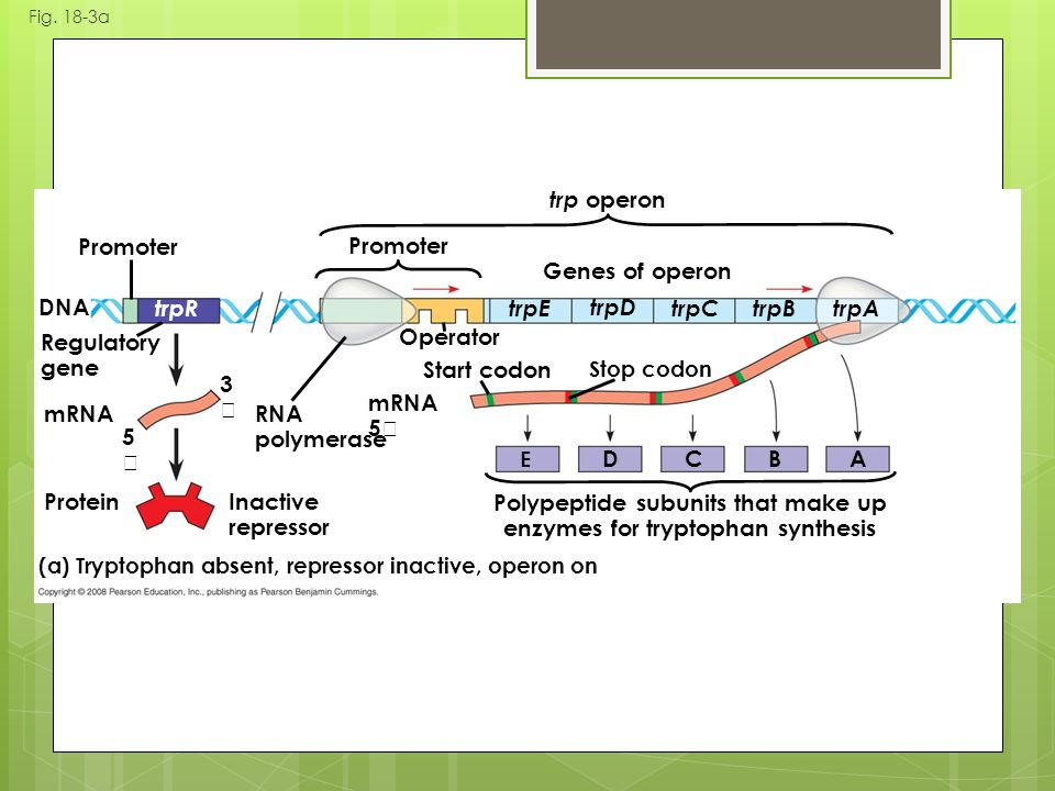 Fig. 18-3a Polypeptide subunits that make up enzymes for tryptophan synthesis (a) Tryptophan absent, repressor inactive, operon on DNA mRNA 5 ProteinI