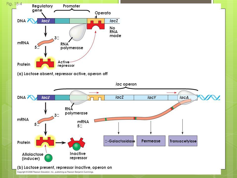 Fig. 18-4 (b) Lactose present, repressor inactive, operon on (a) Lactose absent, repressor active, operon off mRNA Protein DNA mRNA 5 Protein Active r
