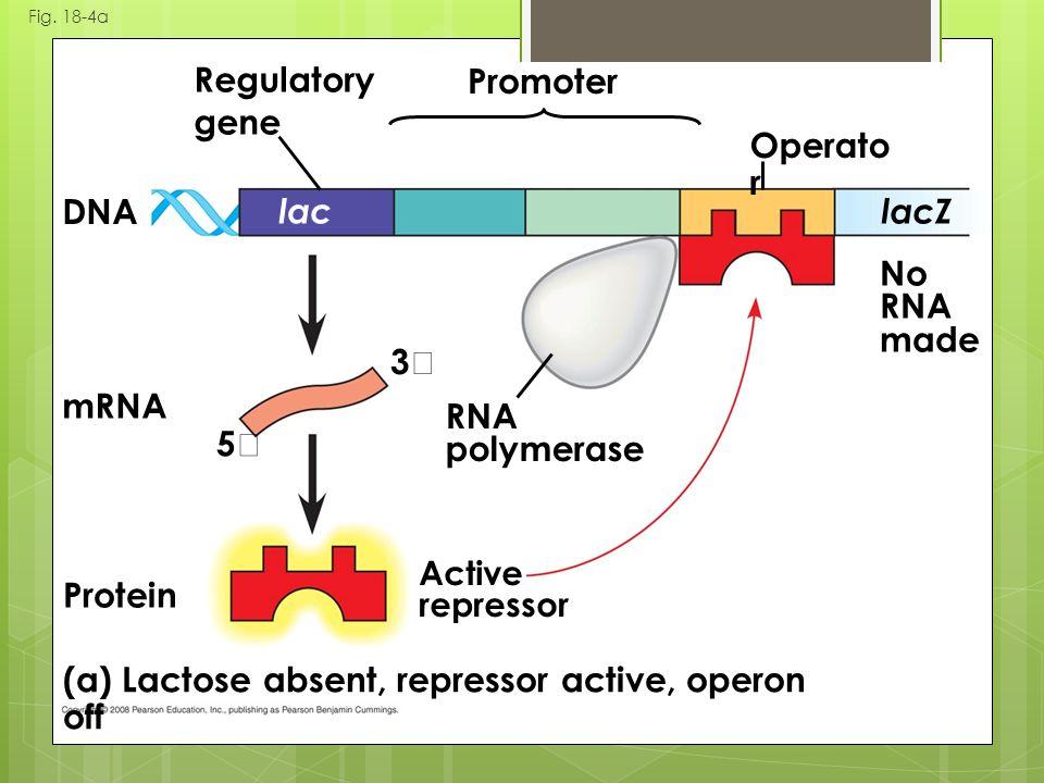 Fig. 18-4a (a) Lactose absent, repressor active, operon off DNA Protein Active repressor RNA polymerase Regulatory gene Promoter Operato r mRNA 5 3 No