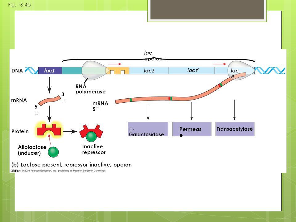 Fig. 18-4b (b) Lactose present, repressor inactive, operon on mRNA Protein DNA mRNA 5 Inactive repressor Allolactose (inducer) 5 3 RNA polymerase Perm