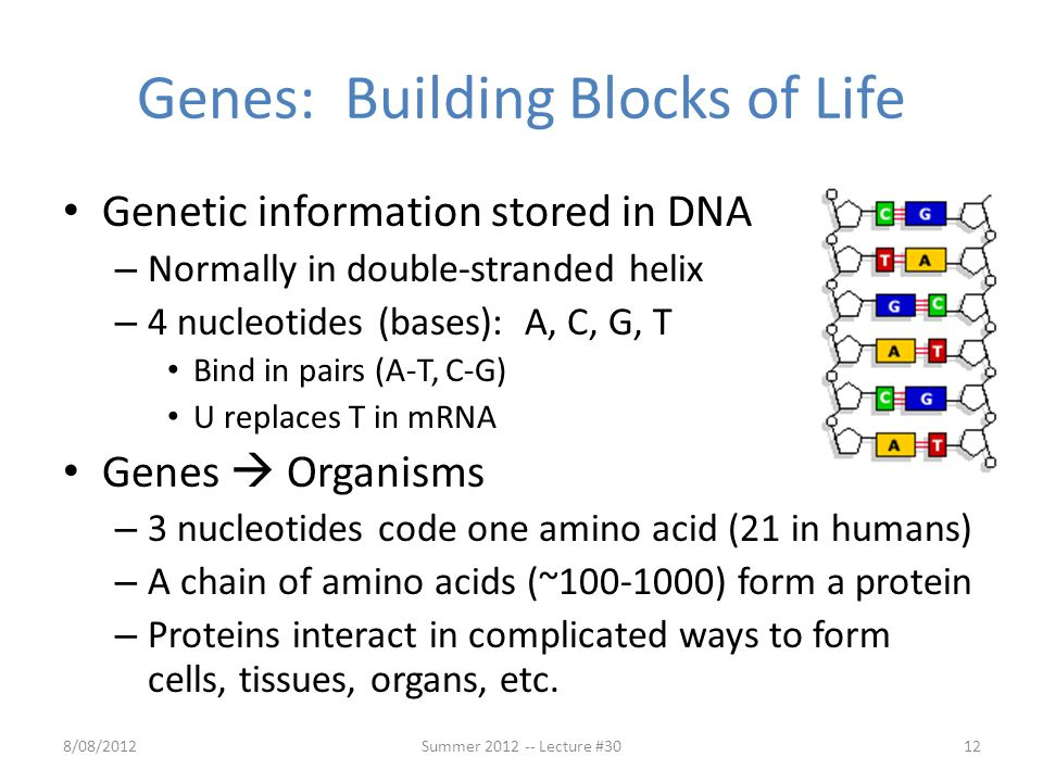 Genes: Building Blocks of Life Genetic information stored in DNA – Normally in double-stranded helix – 4 nucleotides (bases): A, C, G, T Bind in pairs