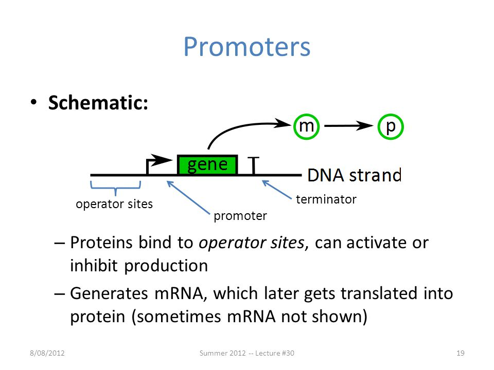 Promoters Schematic: – Proteins bind to operator sites, can activate or inhibit production – Generates mRNA, which later gets translated into protein