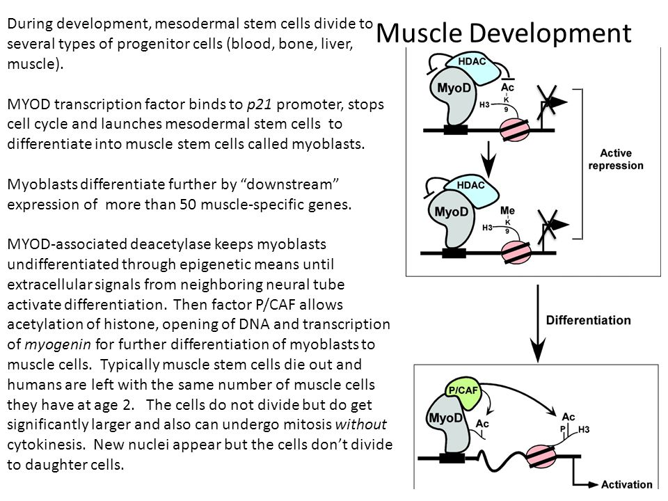 Muscle Development During development, mesodermal stem cells divide to several types of progenitor cells (blood, bone, liver, muscle).