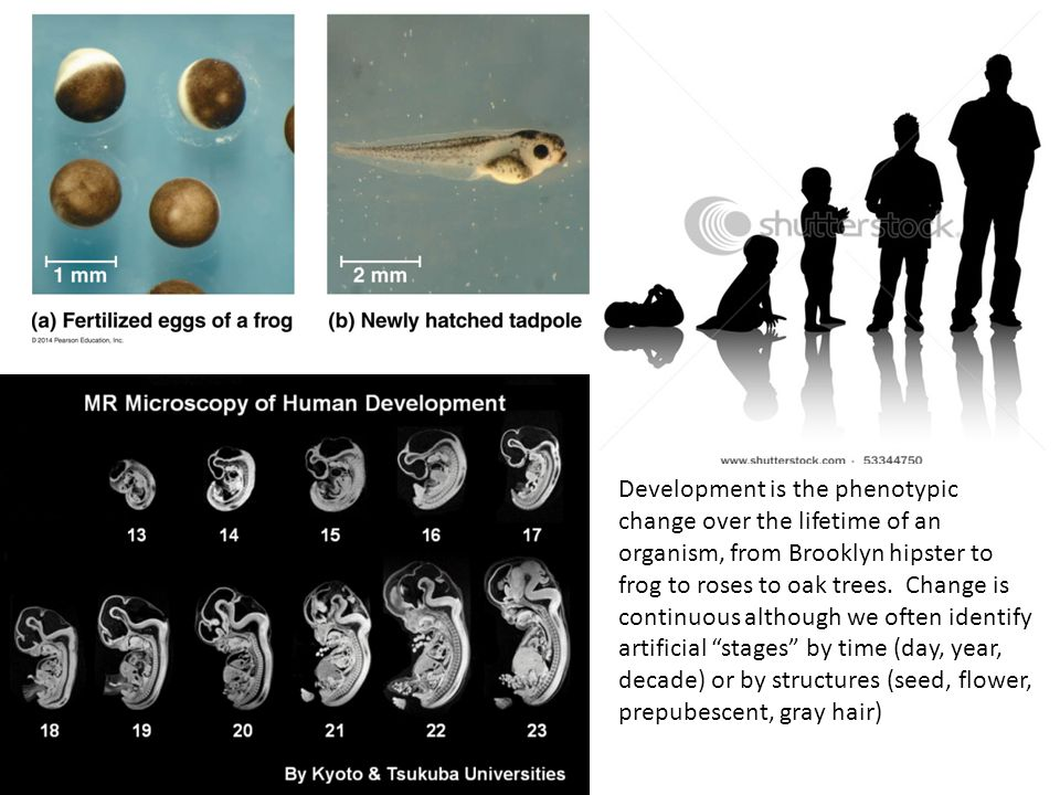 Animal development is very similar in all animals