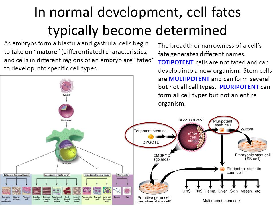 In normal development, cell fates typically become determined As embryos form a blastula and gastrula, cells begin to take on mature (differentiated) characteristics, and cells in different regions of an embryo are fated to develop into specific cell types.