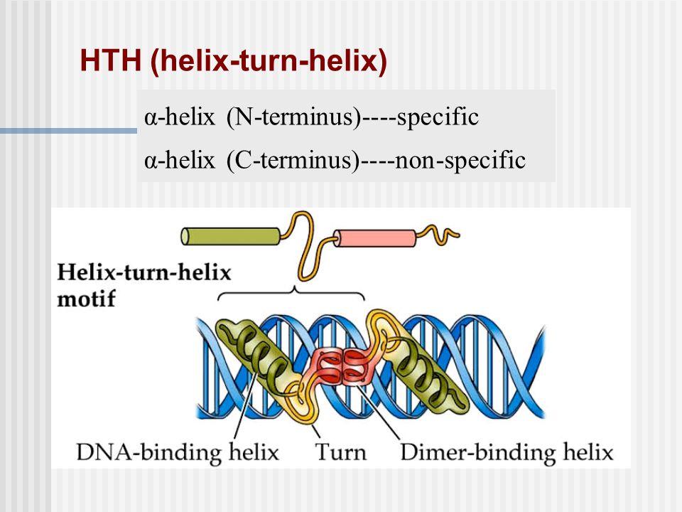 HTH (helix-turn-helix) α-helix (N-terminus)----specific α-helix (C-terminus)----non-specific