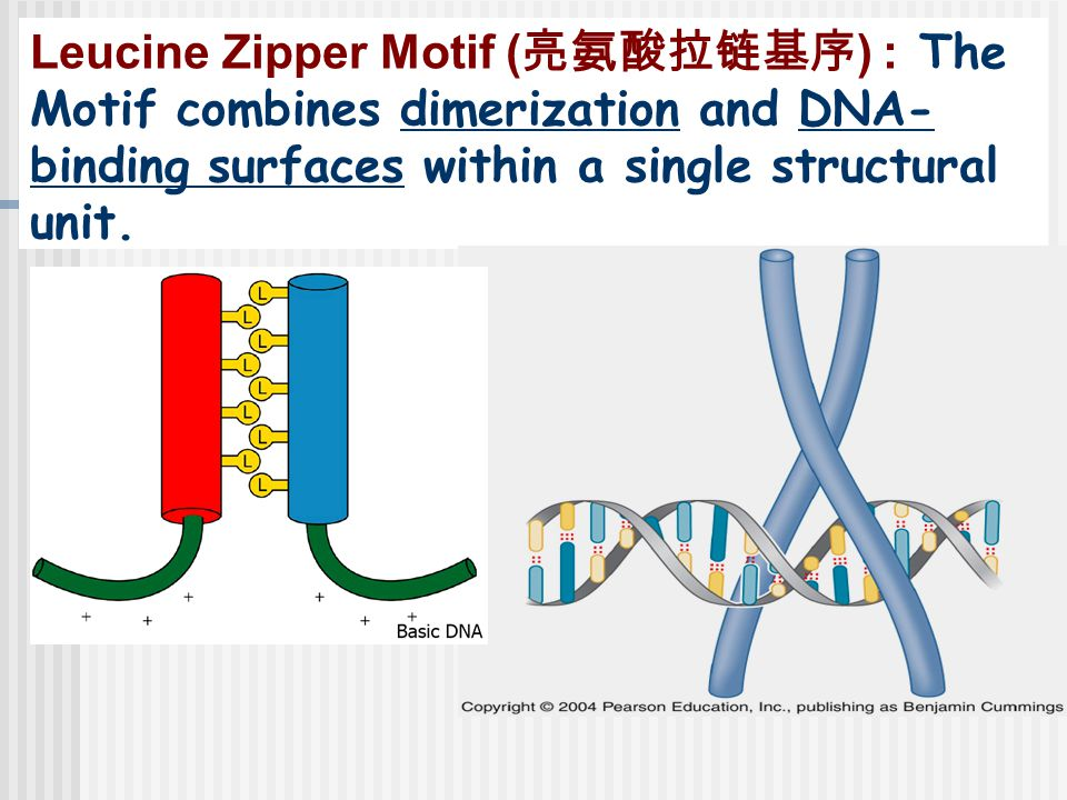 Leucine Zipper Motif ( 亮氨酸拉链基序 ) : The Motif combines dimerization and DNA- binding surfaces within a single structural unit.