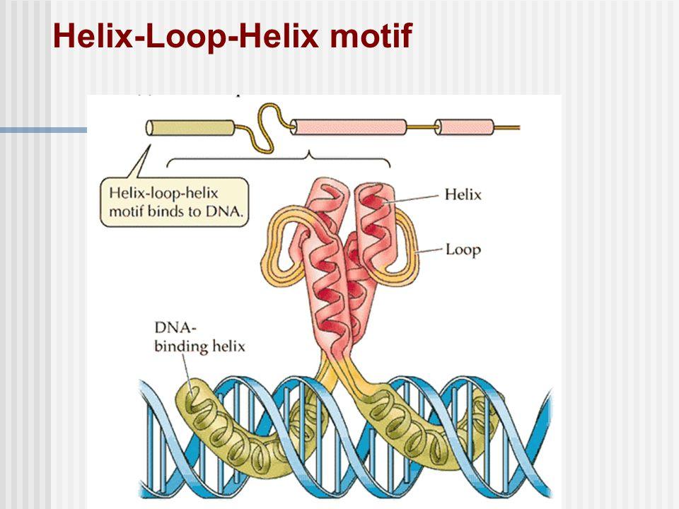 Helix-Loop-Helix motif