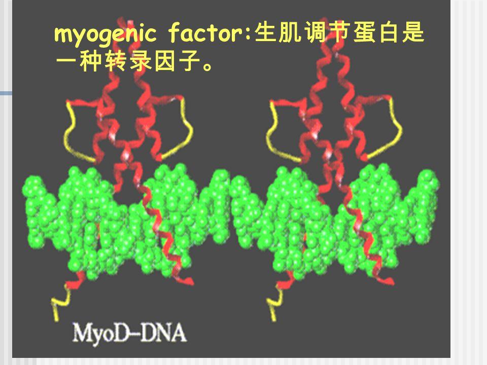myogenic factor: 生肌调节蛋白是 一种转录因子。