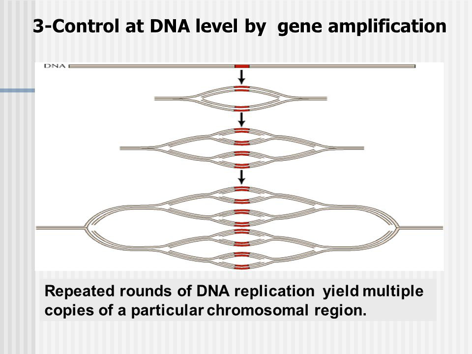 3-Control at DNA level by gene amplification Repeated rounds of DNA replication yield multiple copies of a particular chromosomal region.