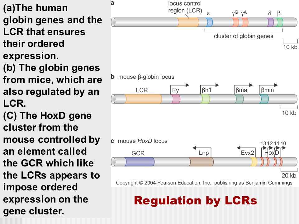 Regulation by LCRs (a)The human globin genes and the LCR that ensures their ordered expression.