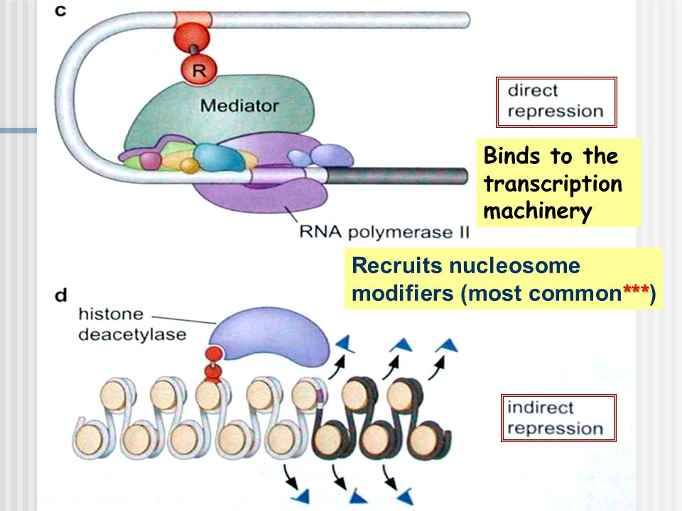 Binds to the transcription machinery *** Recruits nucleosome modifiers (most common***)