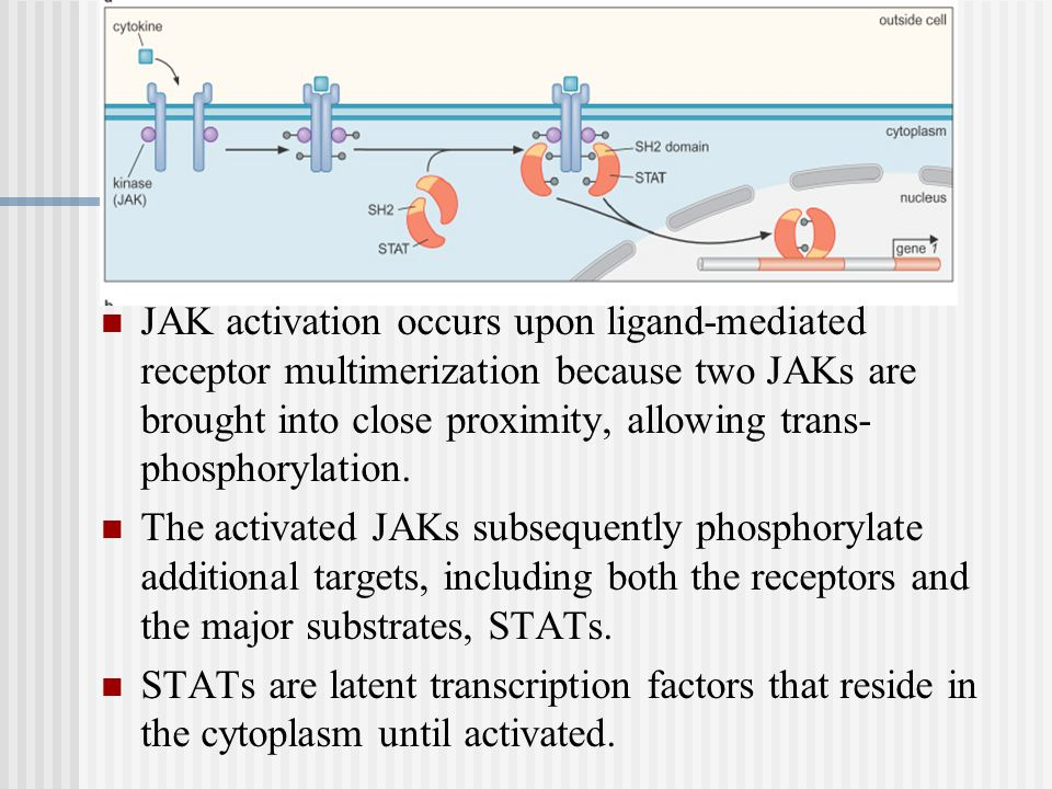 JAK activation occurs upon ligand-mediated receptor multimerization because two JAKs are brought into close proximity, allowing trans- phosphorylation.