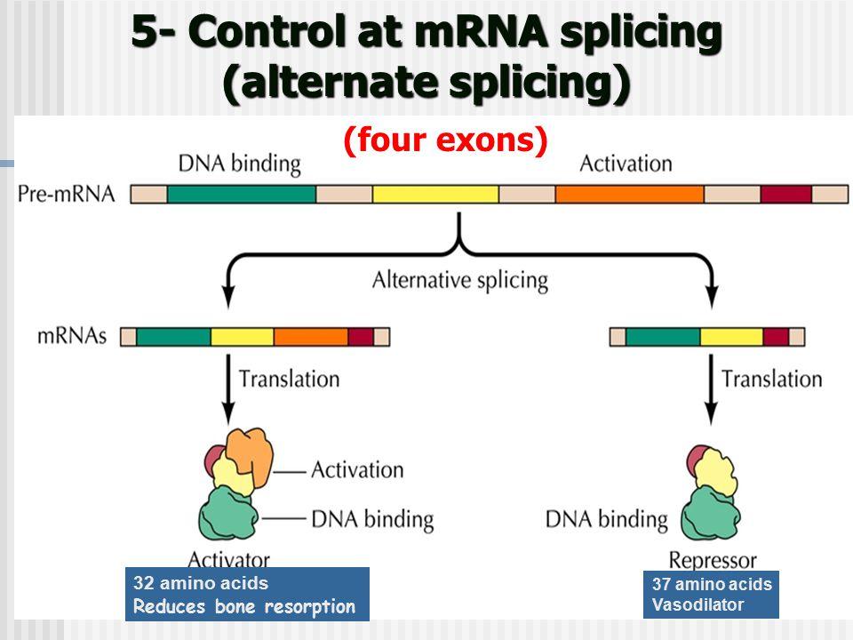Calcitonin gene-related peptide 61 5- Control at mRNA splicing (alternate splicing) (four exons) 32 amino acids Reduces bone resorption 37 amino acids Vasodilator