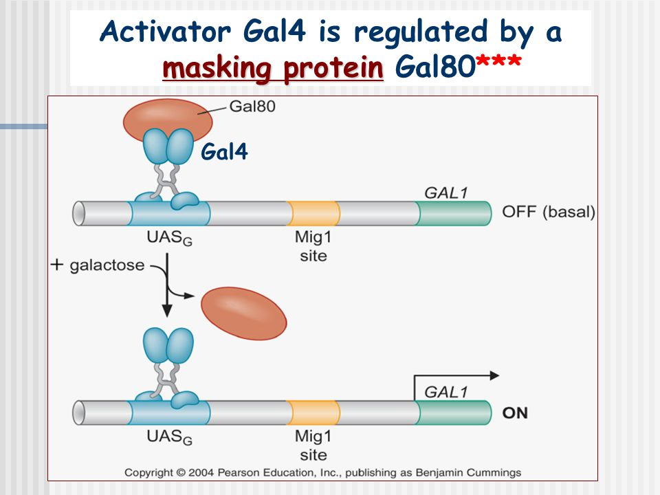 masking protein Activator Gal4 is regulated by a masking protein Gal80*** Gal4