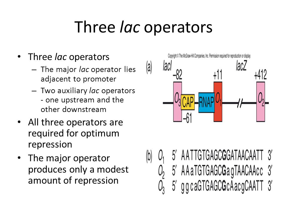 Three lac operators – The major lac operator lies adjacent to promoter – Two auxiliary lac operators - one upstream and the other downstream All three