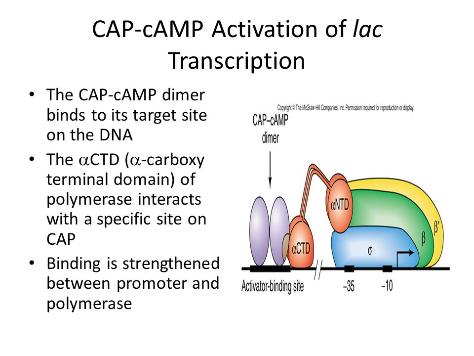 CAP-cAMP Activation of lac Transcription The CAP-cAMP dimer binds to its target site on the DNA The  CTD (  -carboxy terminal domain) of polymerase