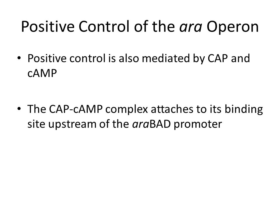 Positive Control of the ara Operon Positive control is also mediated by CAP and cAMP The CAP-cAMP complex attaches to its binding site upstream of the