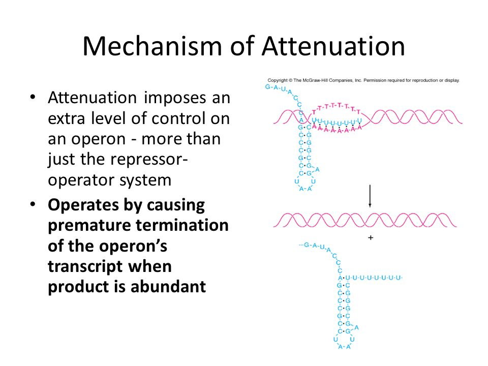 Mechanism of Attenuation Attenuation imposes an extra level of control on an operon - more than just the repressor- operator system Operates by causin