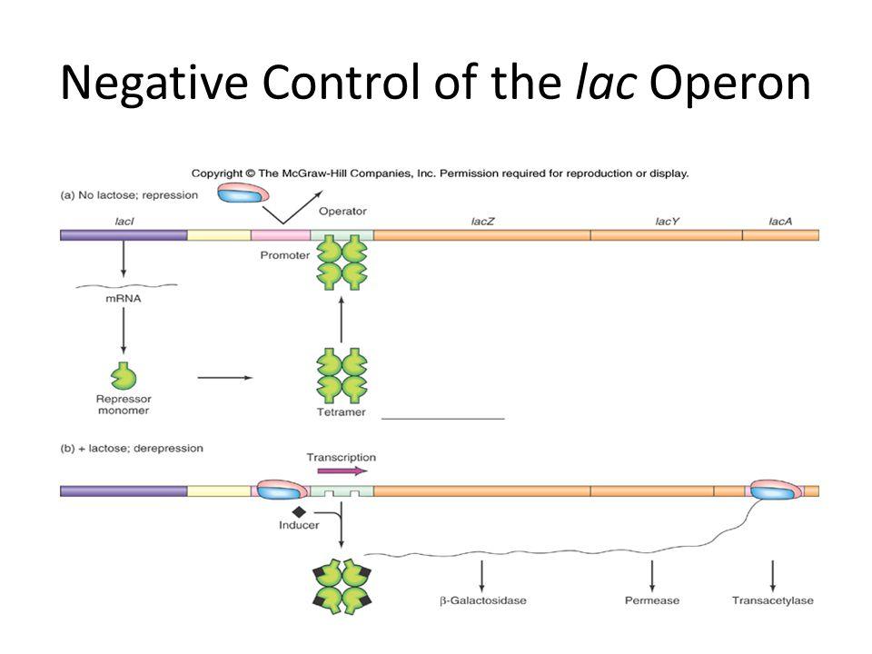Negative Control of the lac Operon