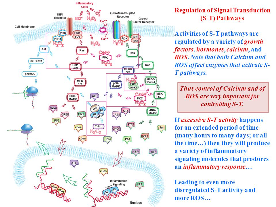 Regulation of Signal Transduction (S-T) Pathways Activities of S-T pathways are regulated by a variety of growth factors, hormones, calcium, and ROS.