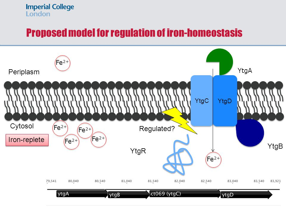 Proposed model for regulation of iron-homeostasis Fe 2+ YtgA Periplasm Cytosol YtgC YtgD YtgB Fe 2+ YtgR Iron-replete Regulated?