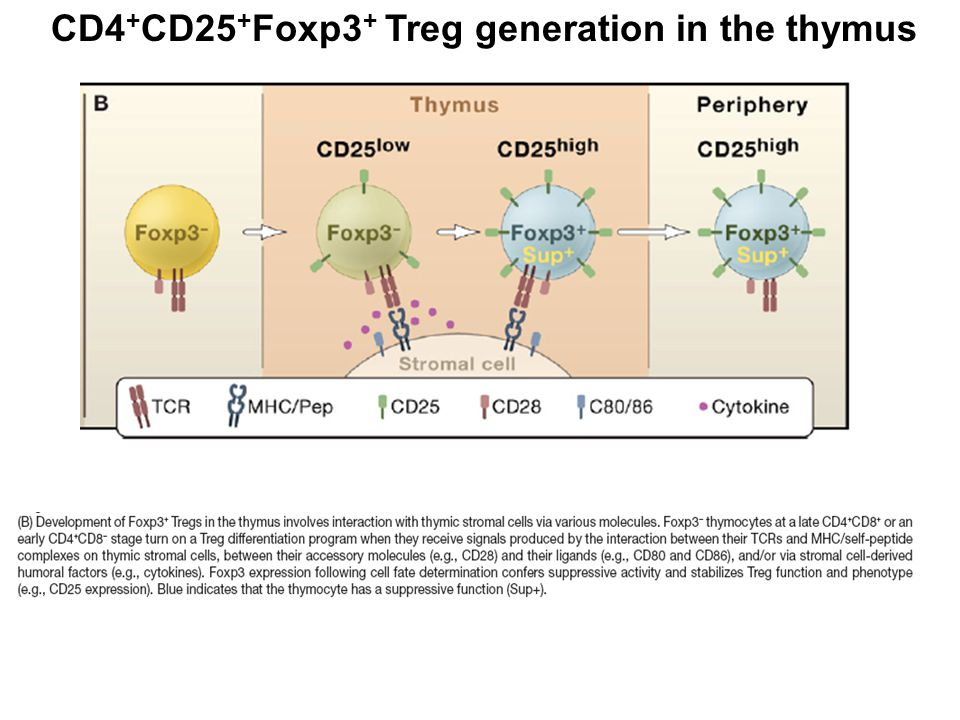 CD4 + CD25 + Foxp3 + Treg generation in the thymus