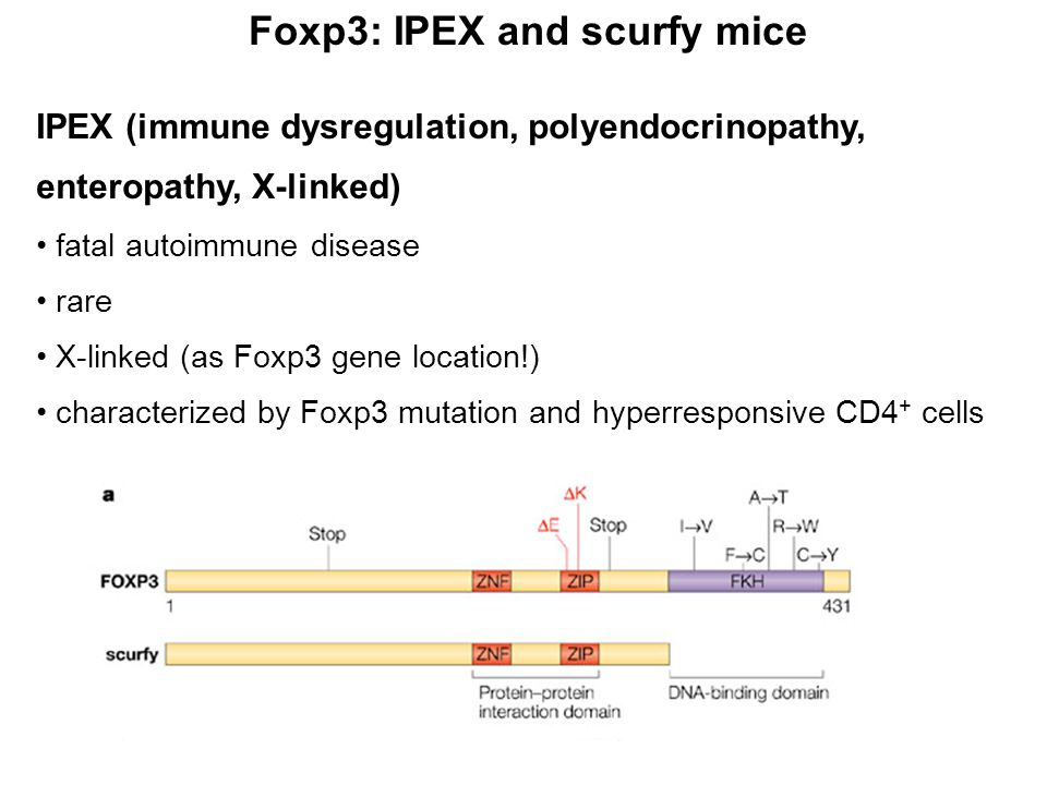 Foxp3: IPEX and scurfy mice IPEX (immune dysregulation, polyendocrinopathy, enteropathy, X-linked) fatal autoimmune disease rare X-linked (as Foxp3 gene location!) characterized by Foxp3 mutation and hyperresponsive CD4 + cells