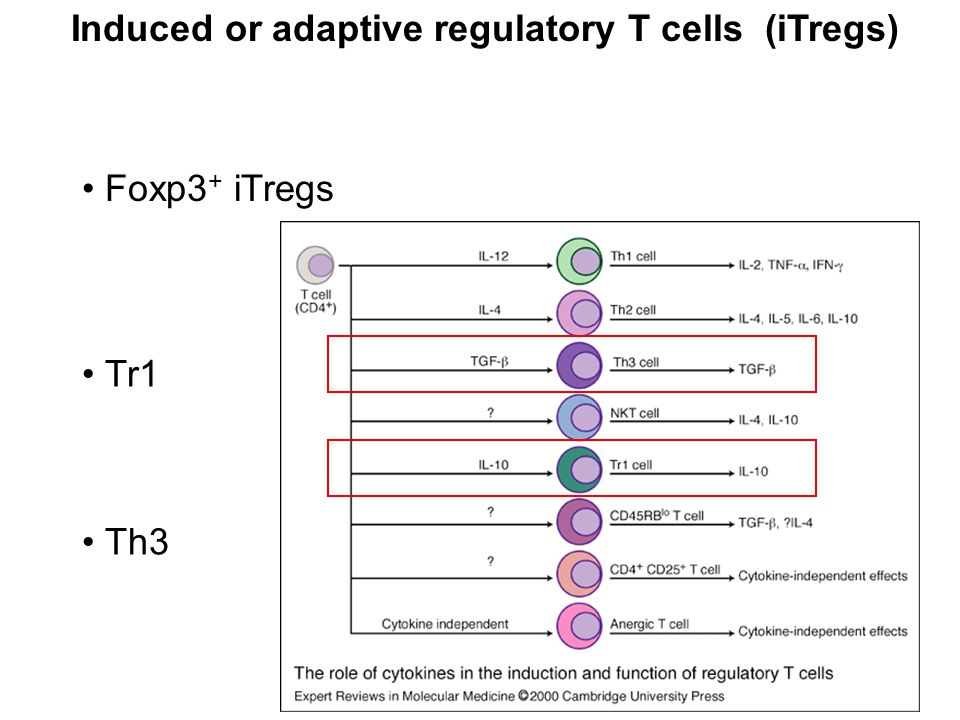 Induced or adaptive regulatory T cells (iTregs) Foxp3 + iTregs Tr1 Th3
