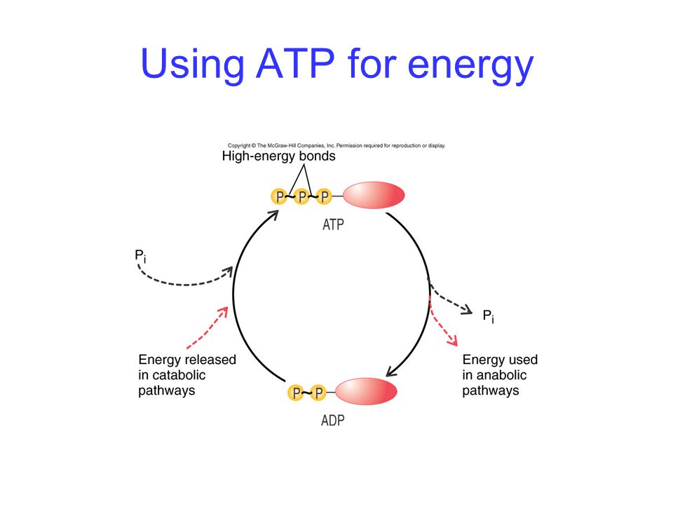 Using ATP for energy