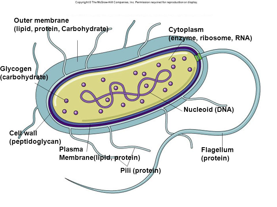 Copyright © The McGraw-Hill Companies, Inc. Permission required for reproduction or display. Cytoplasm (enzyme, ribosome, RNA) Plasma Membrane(lipid,