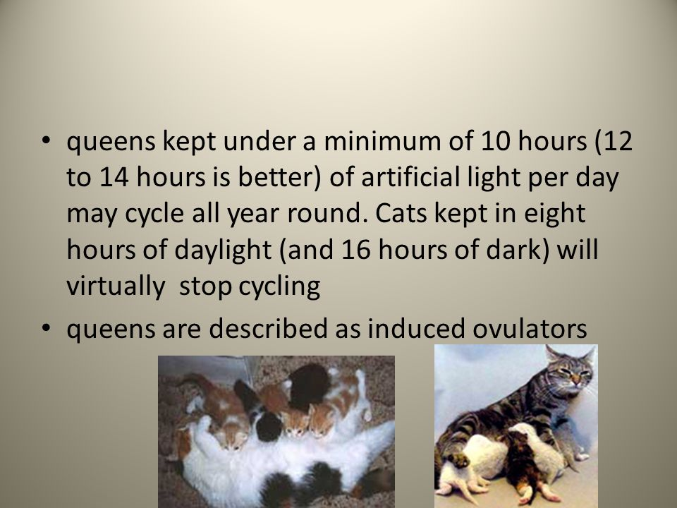 queens kept under a minimum of 10 hours (12 to 14 hours is better) of artificial light per day may cycle all year round. Cats kept in eight hours of d