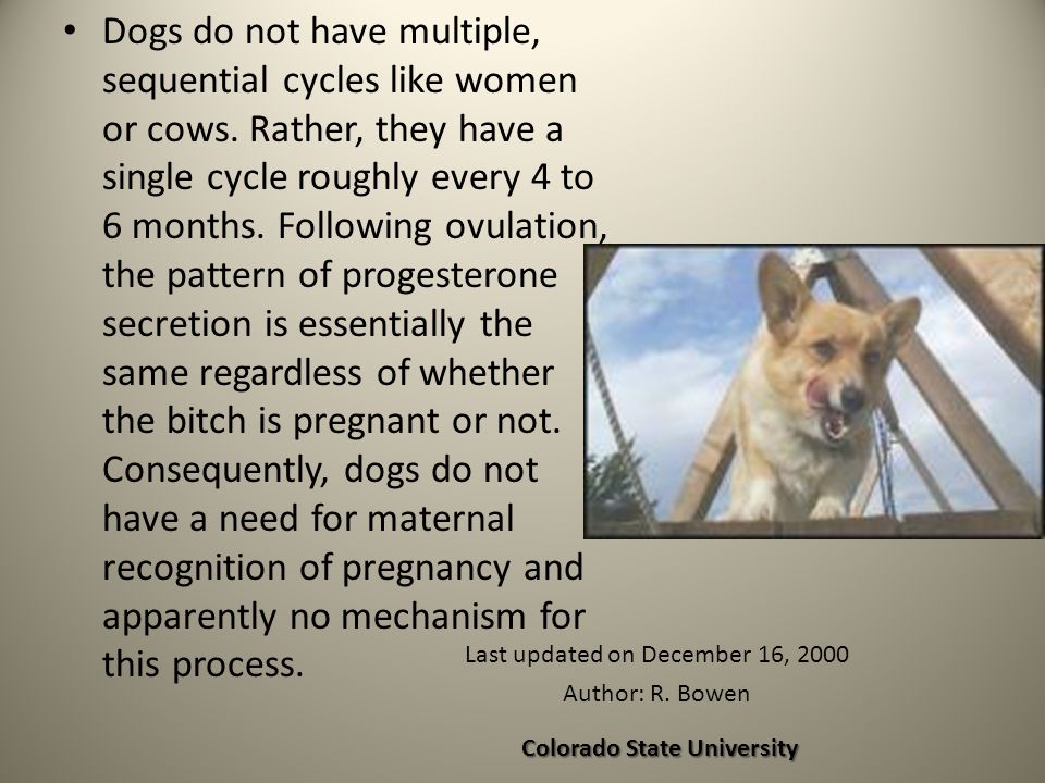 Dogs do not have multiple, sequential cycles like women or cows. Rather, they have a single cycle roughly every 4 to 6 months. Following ovulation, th