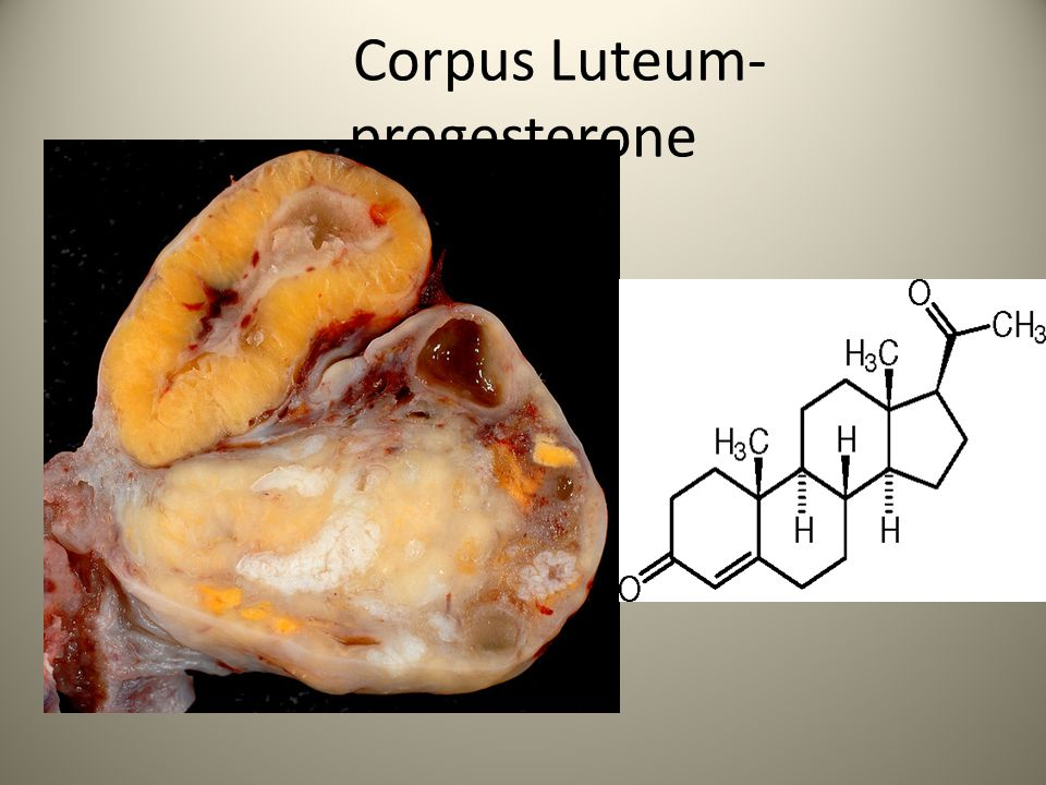 Corpus Luteum- progesterone